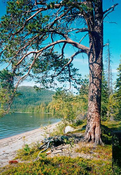Ботаническое описание.  Сосна пятилистная Pinus реuсе - дерево высотой до 25...